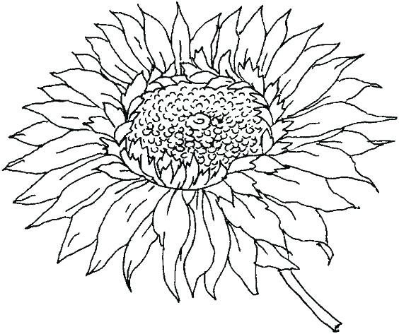 564x473 Sunflower Coloring Pages For Preschoolers Sun Coloring Pages