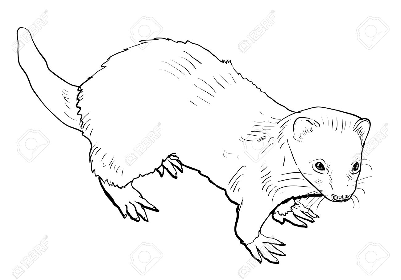 Weasel Coloring Page at GetColorings